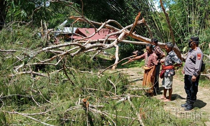Pegawai Dinas Kehutanan Meninggal Ditimpa Pohon Di Tondon Siba Ta Kareba Toraja